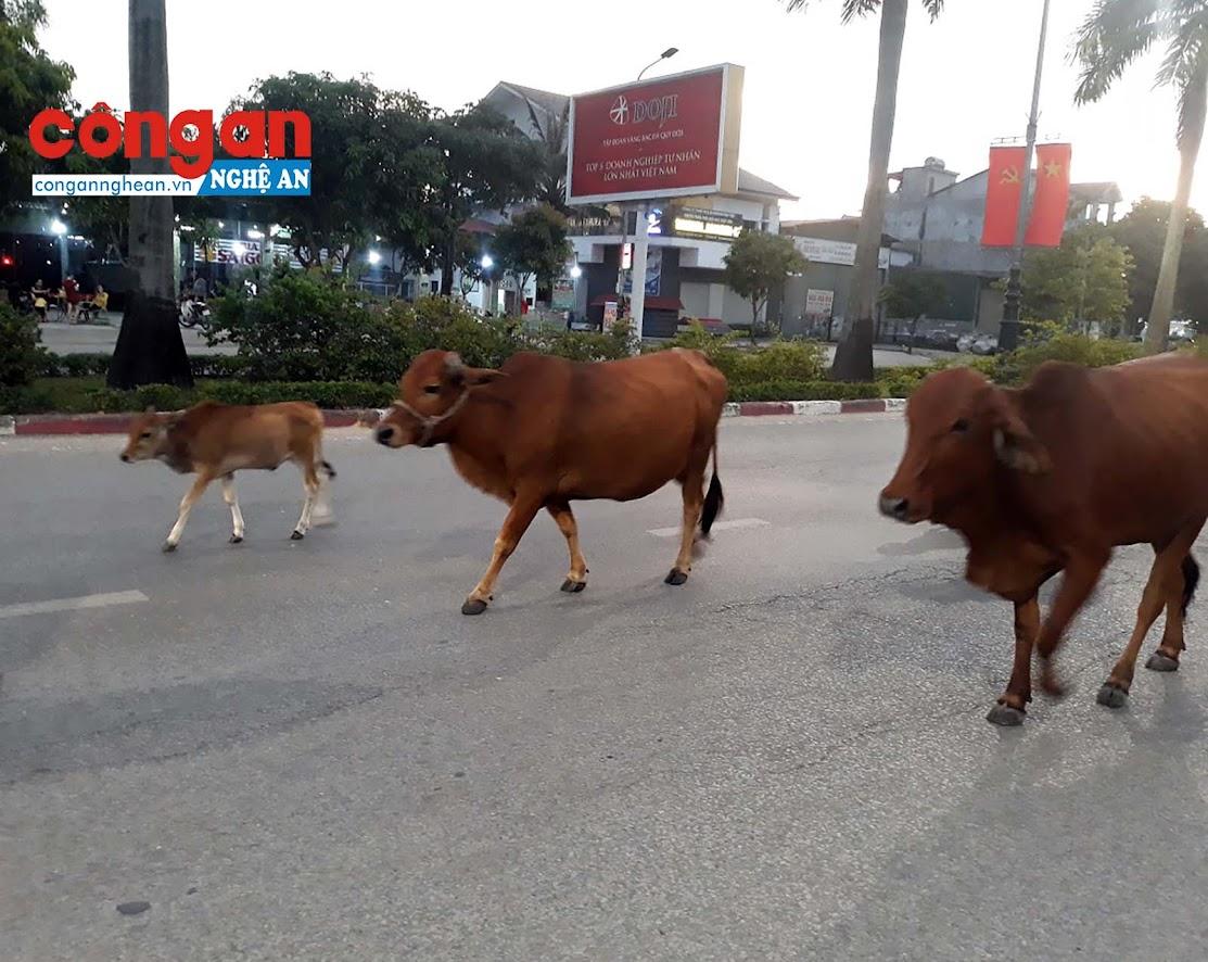 Hình ảnh những đàn bò án ngữ cản trở giao thông trên tuyến đường Đại lộ Lê Nin (Tp. Vinh) đã trở nên quen thuộc.