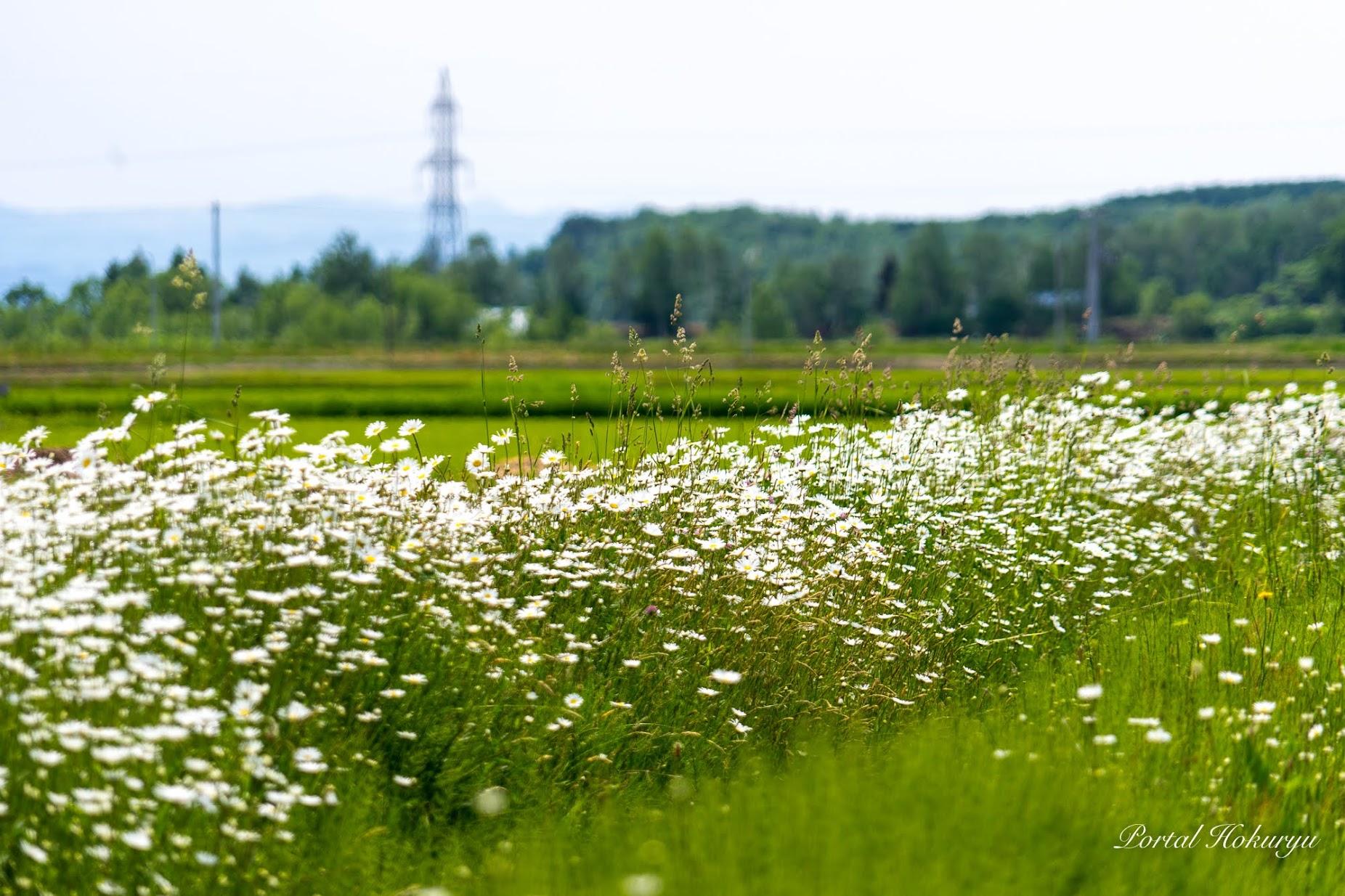 清楚な白い花・マーガレット