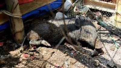 Babi Ngepet di Depok Hoaks Direncanakan Pelaku sejak Maret