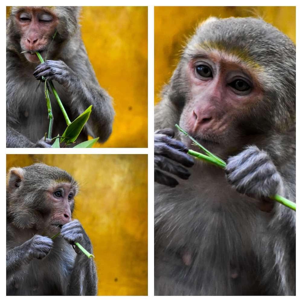 rhesus monkeys mount popa (1).jpg