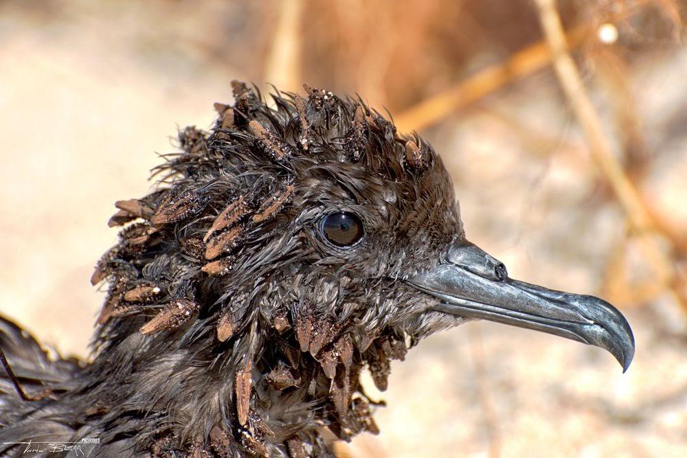 Pisonia, a árvore que mata pássaros