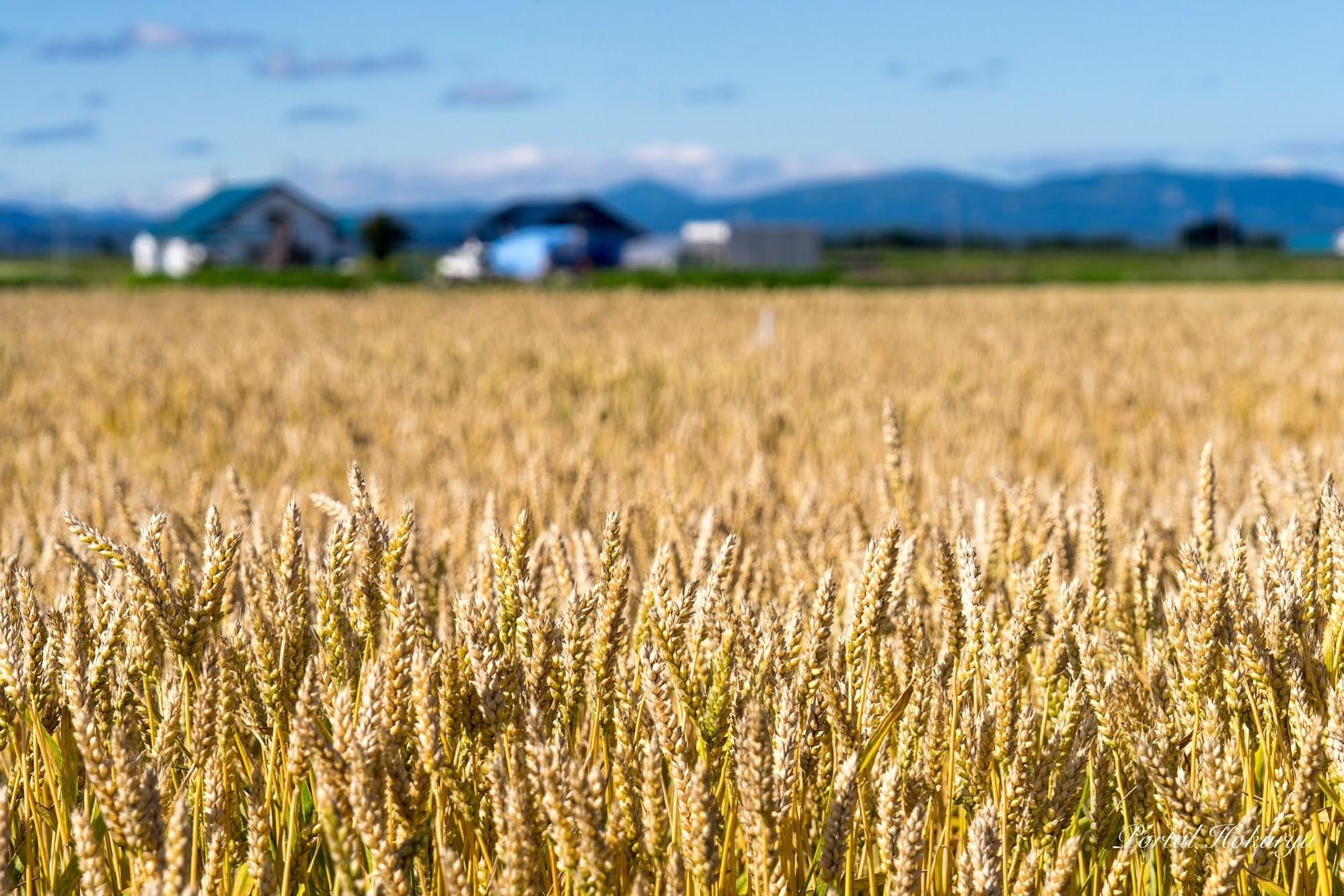 黄金に実る麦畑