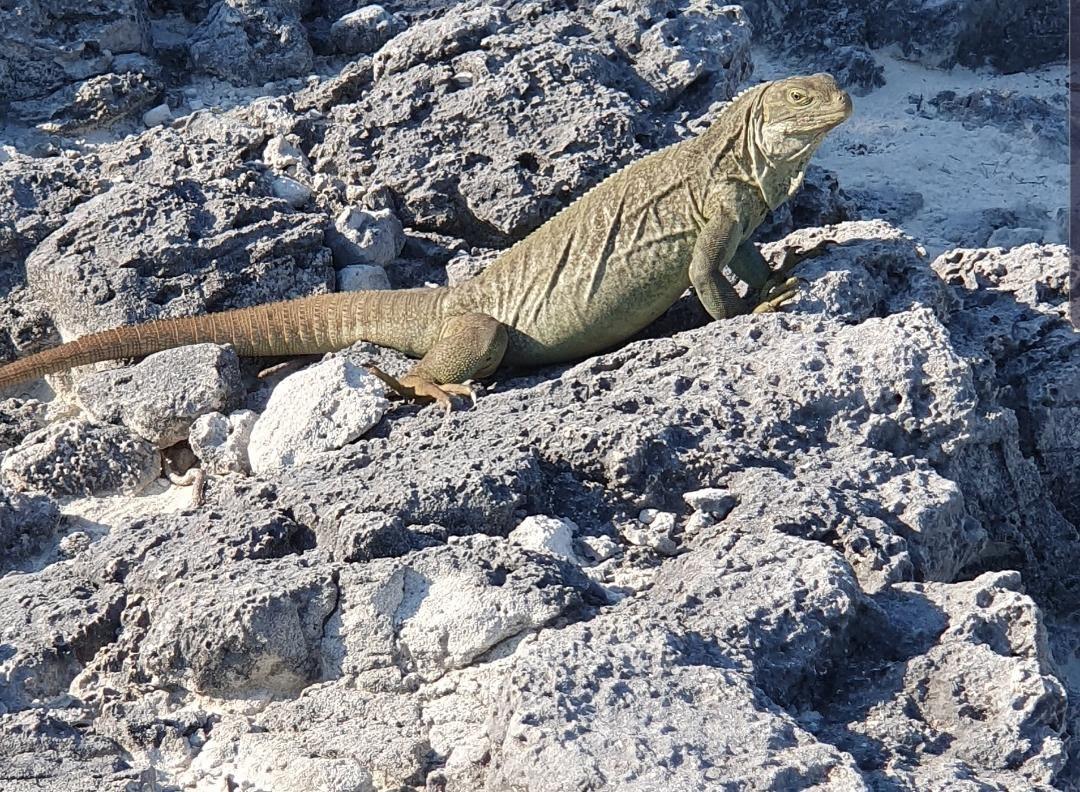 Clear Bottom Mangrove and Iguana Island Tour