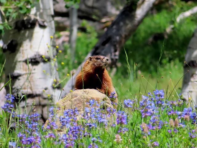 Marmot posing for a photo