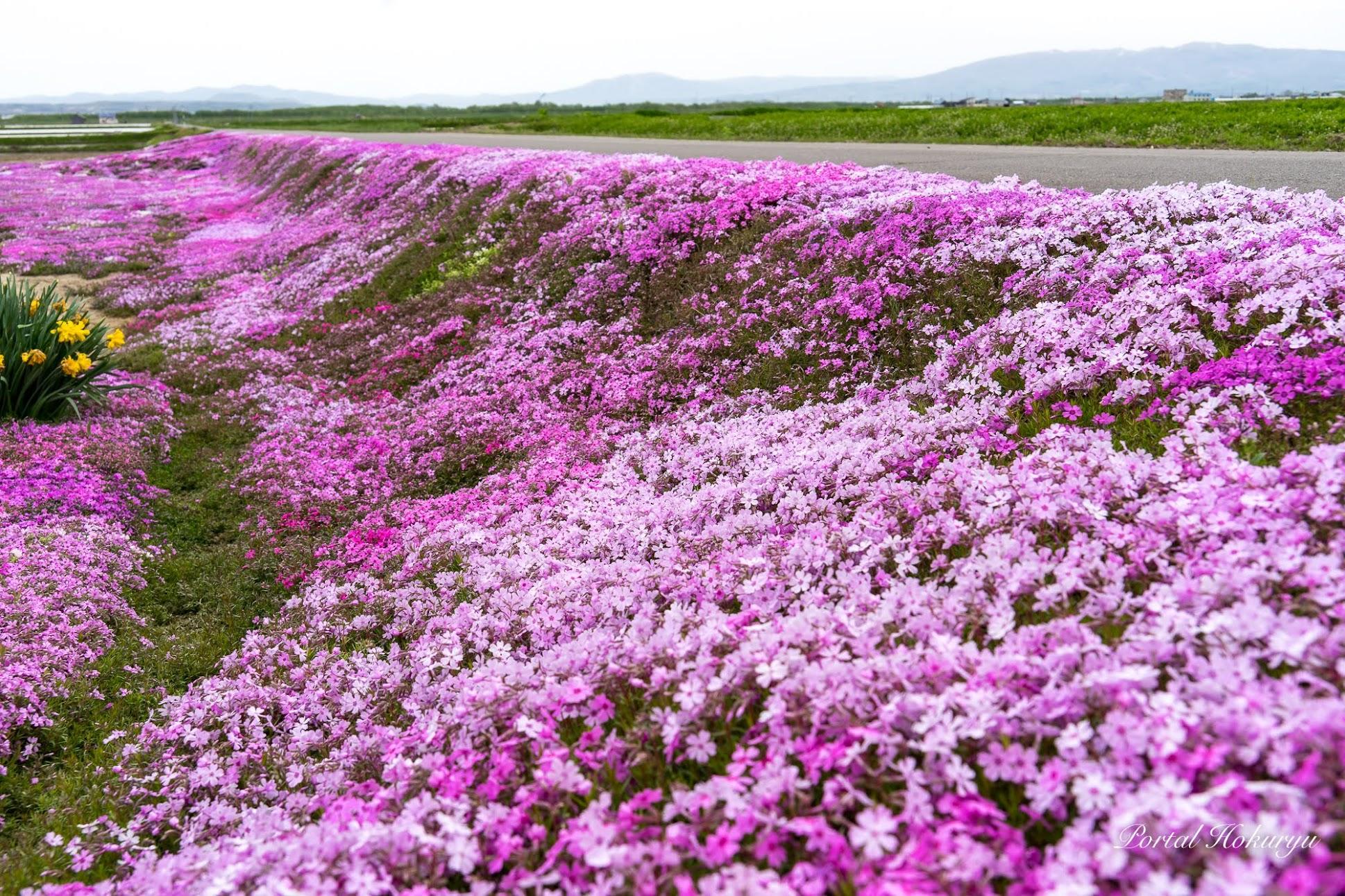 お庭の大地を埋め尽くす華麗なる花「芝桜」