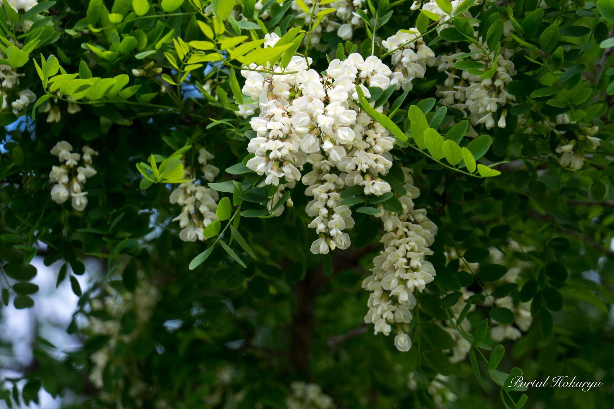 樹木に咲く白い花・ハリエンジュ(ニセアカシア)