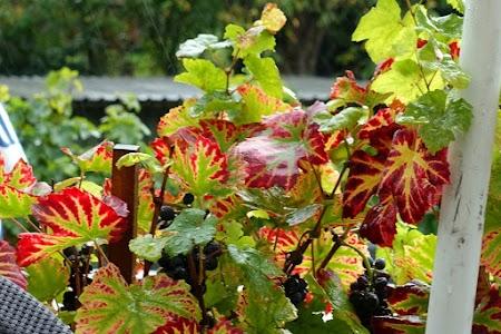 Herbstliche Weinblätter.