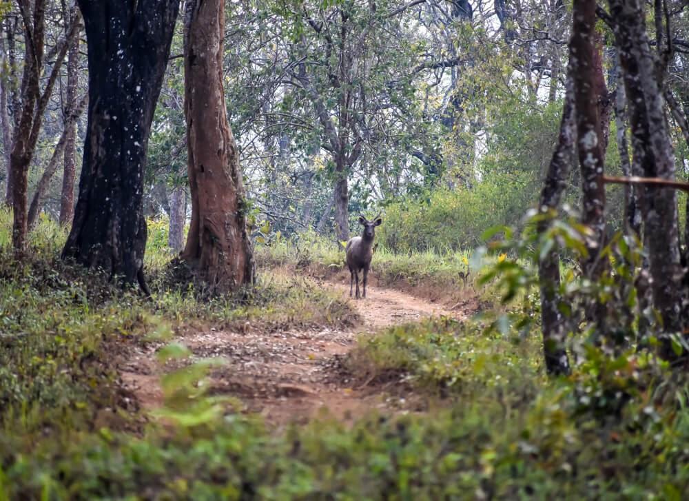 sambhal stag spotted on br hills safari.jpg