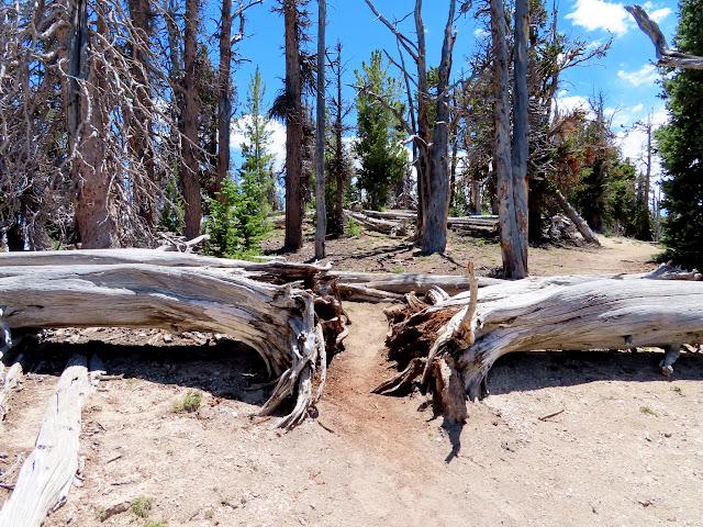Trail between two fallen trees