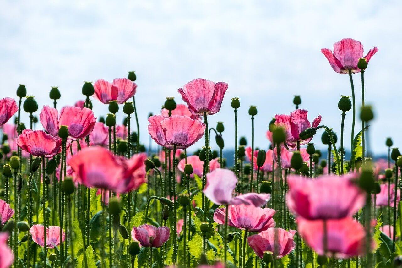 poppy-colors flowers.jpg