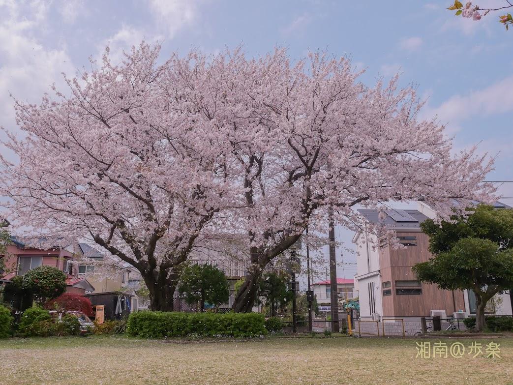 2020/04 今年の石原谷公園 ソメイヨシノ