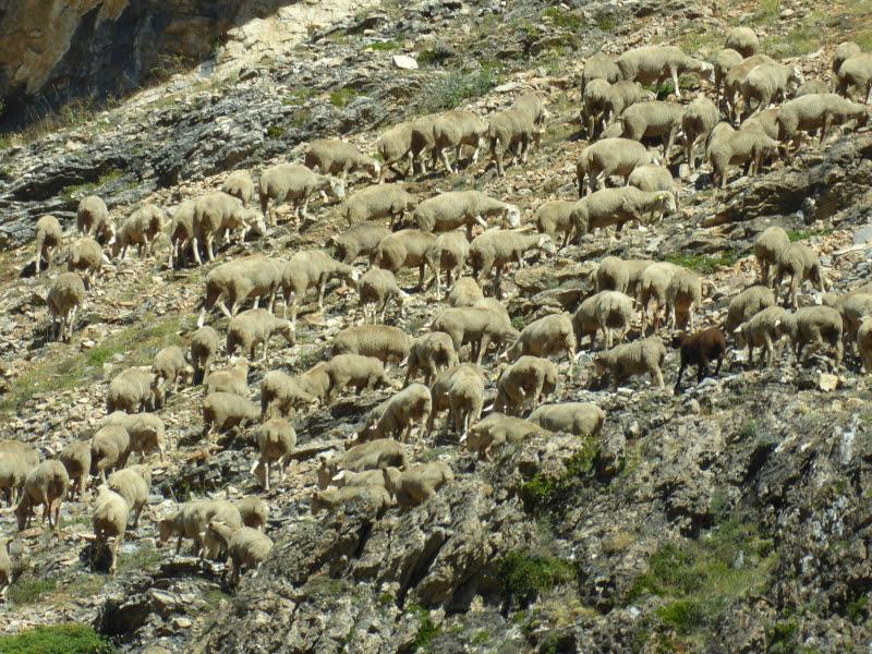 Grandes rebaños de ovellas pasan polo desfiladeiro.