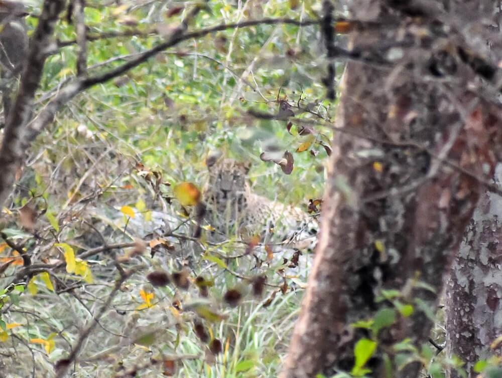 leopard on br hills jungle sagari.jpg