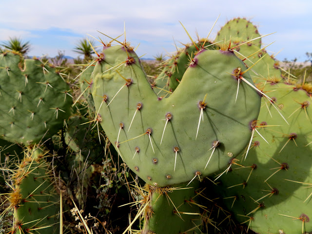Heart-shaped cactus