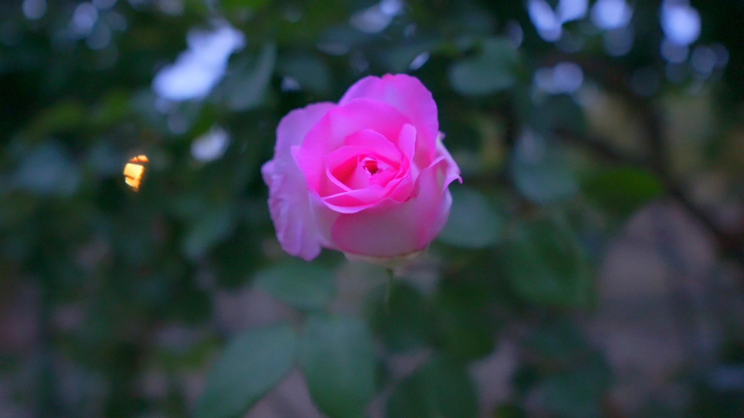 平成の森公園(埼玉県川島町)の薔薇