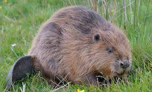 Beavers are back!