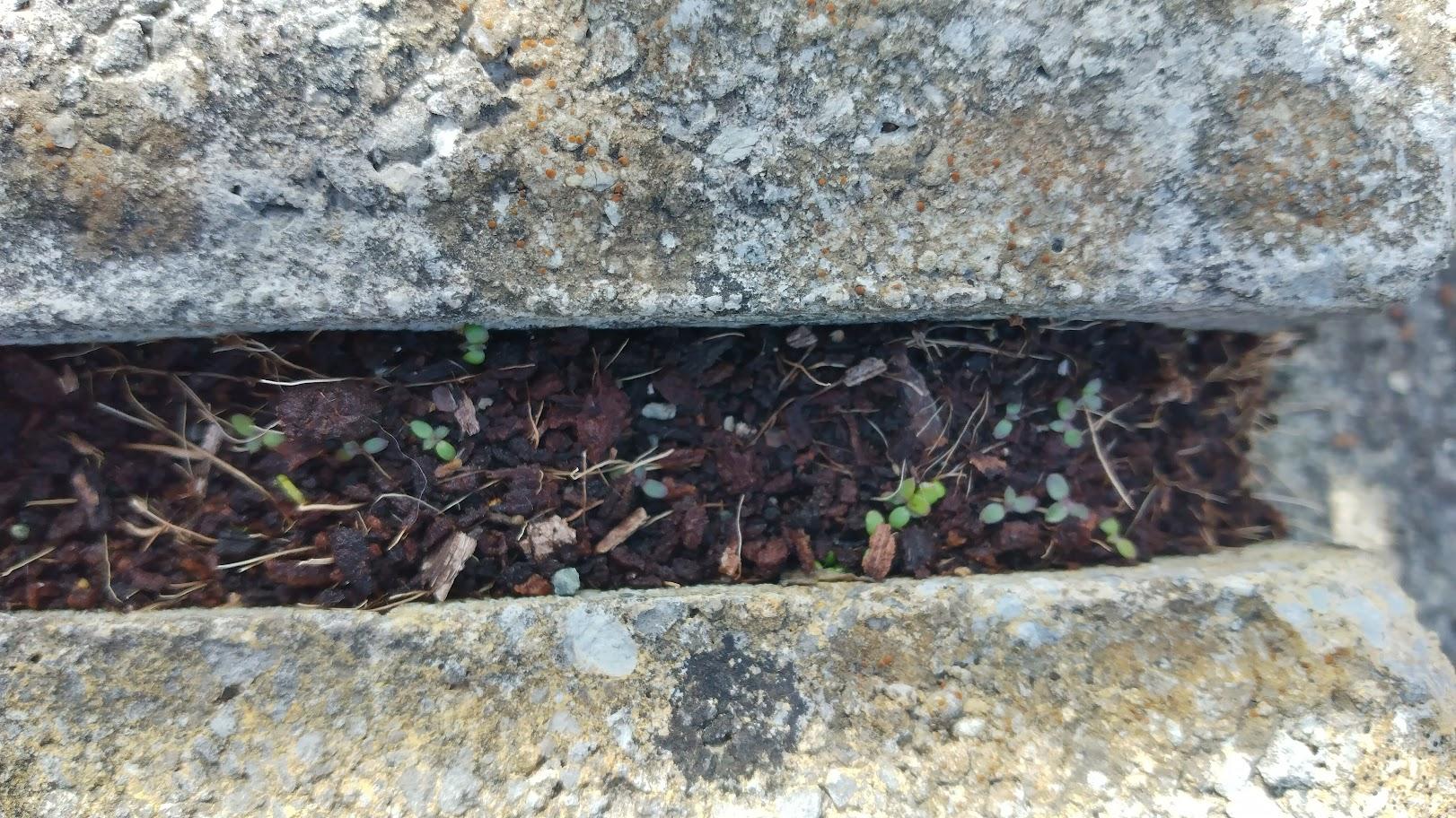 seedlings doing their subversive thing between the paving cracks