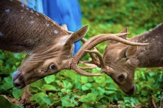 Wild Deer In Trincomalee