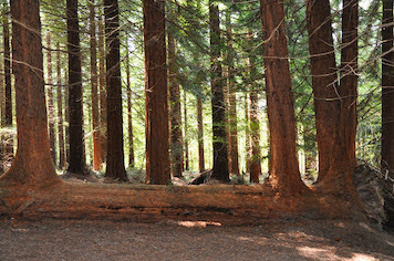 Redwoods remain open to local walkers