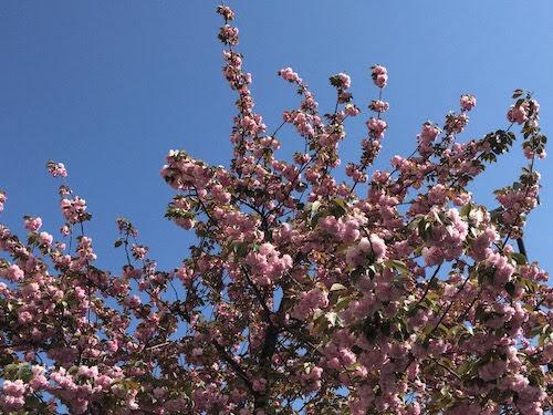 今年の八重の桜。
