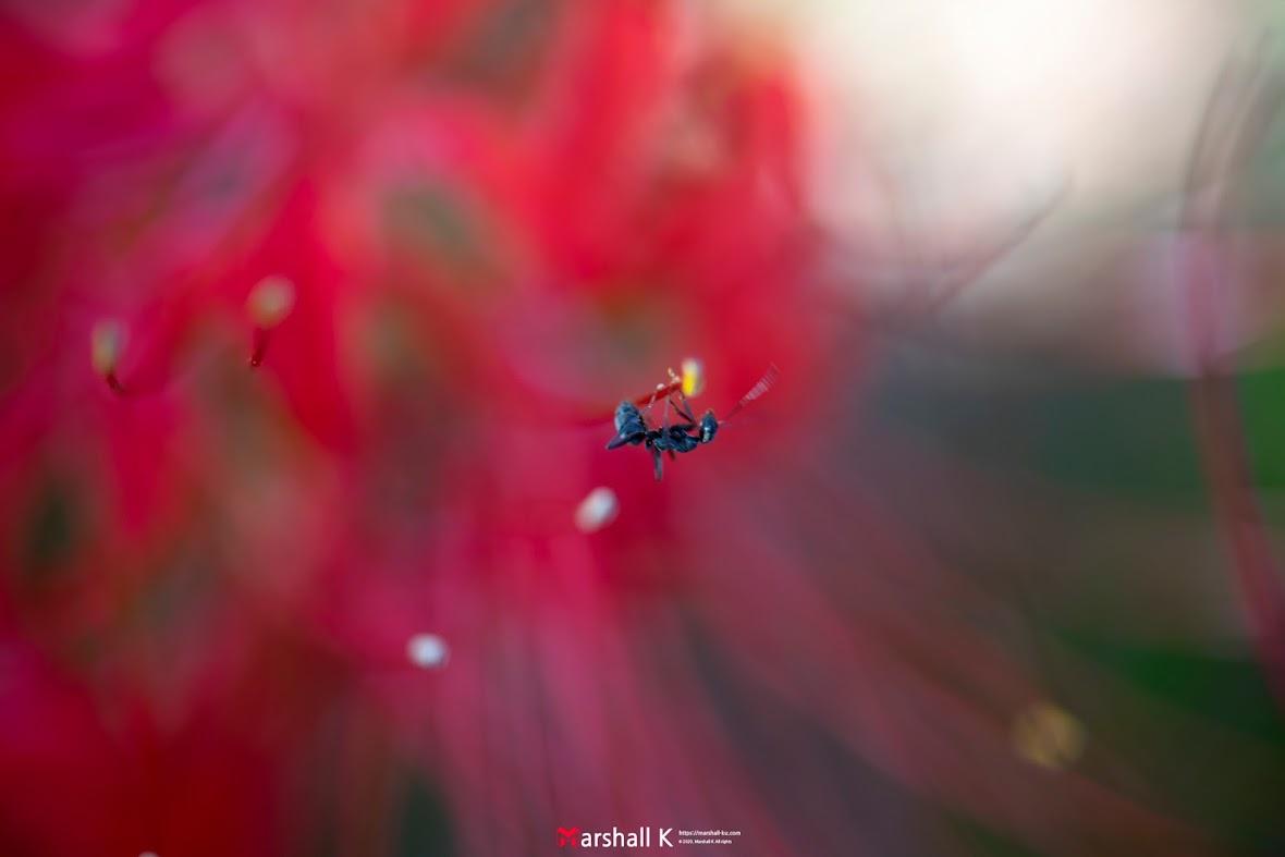 꽃무릇 - 개미 2