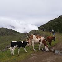 Koeien in de bergen van Campanário