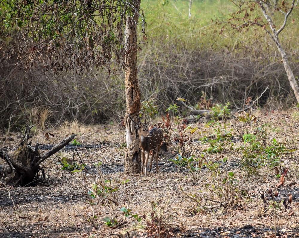 cheetal in br hills conservation.jpg