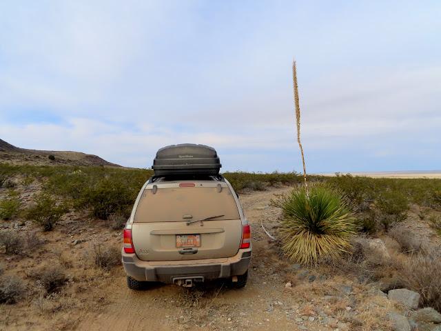 Tall yucca bloom