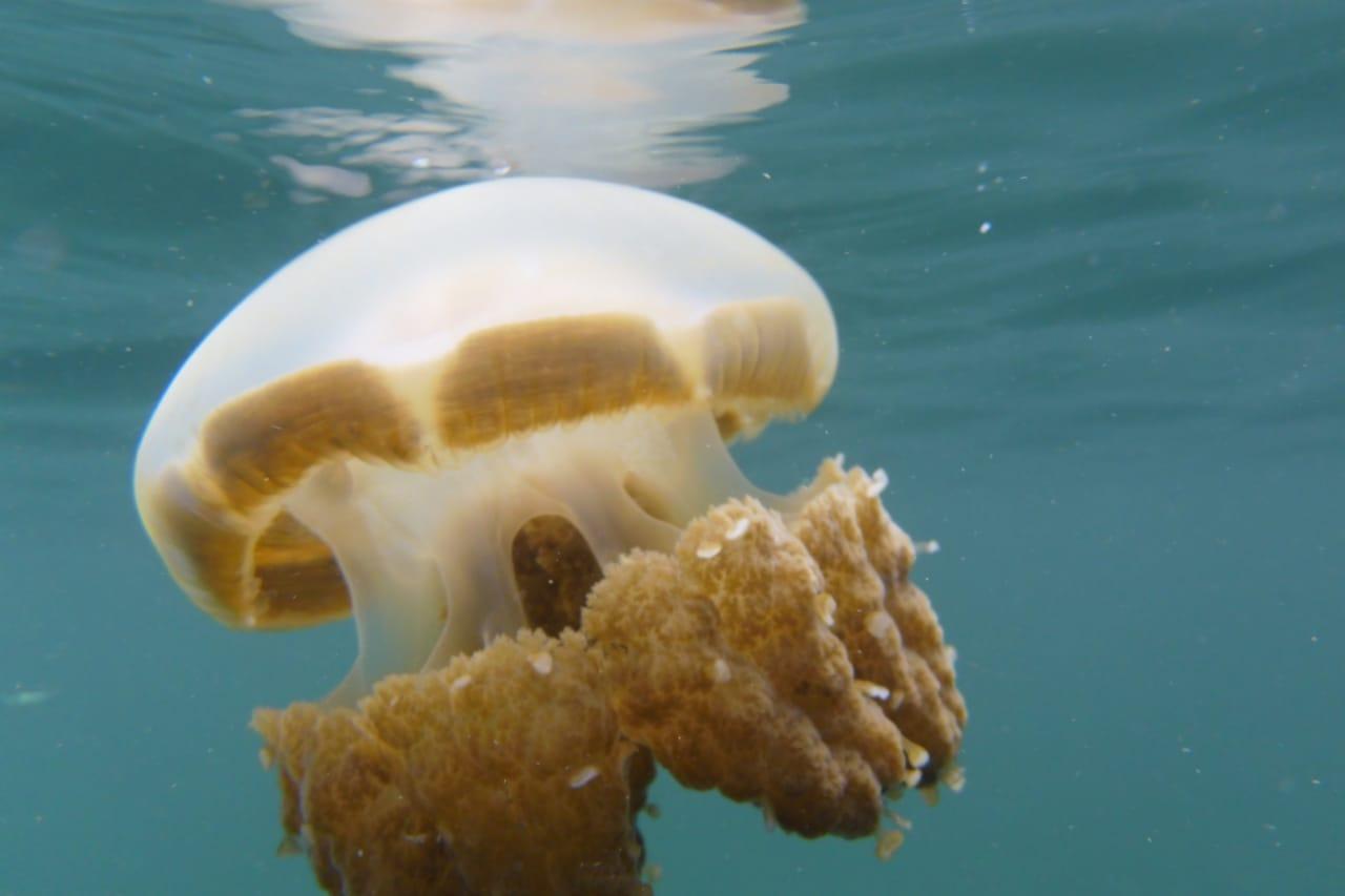 Stingless jellyfish in Misool