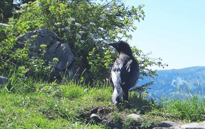 Rabe am Gipfel Besler, Allgäu