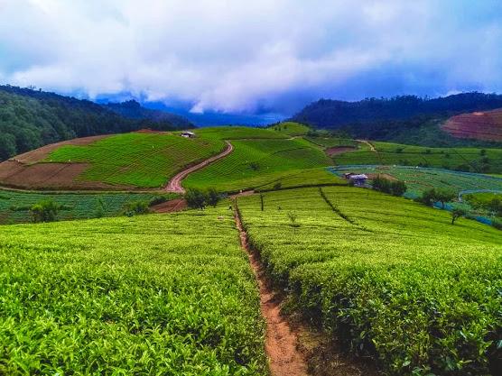Oliphant Tea Estate
