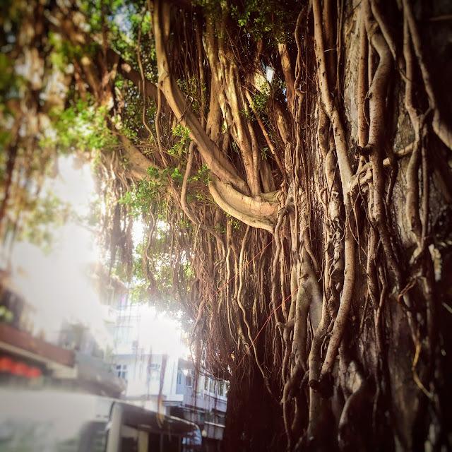 Stone Wall Trees, banyan tree, hong kong, tree, 石牆樹, 香港, 榕樹