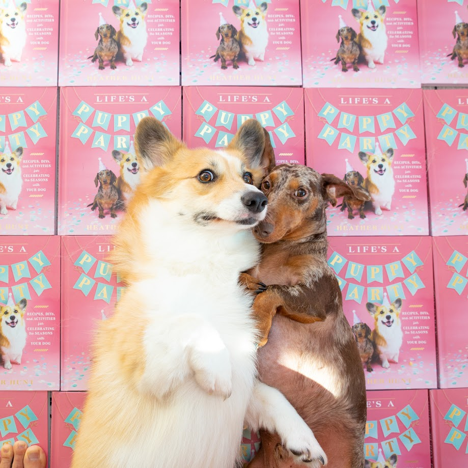 A corgi and dachshund pose in front of books