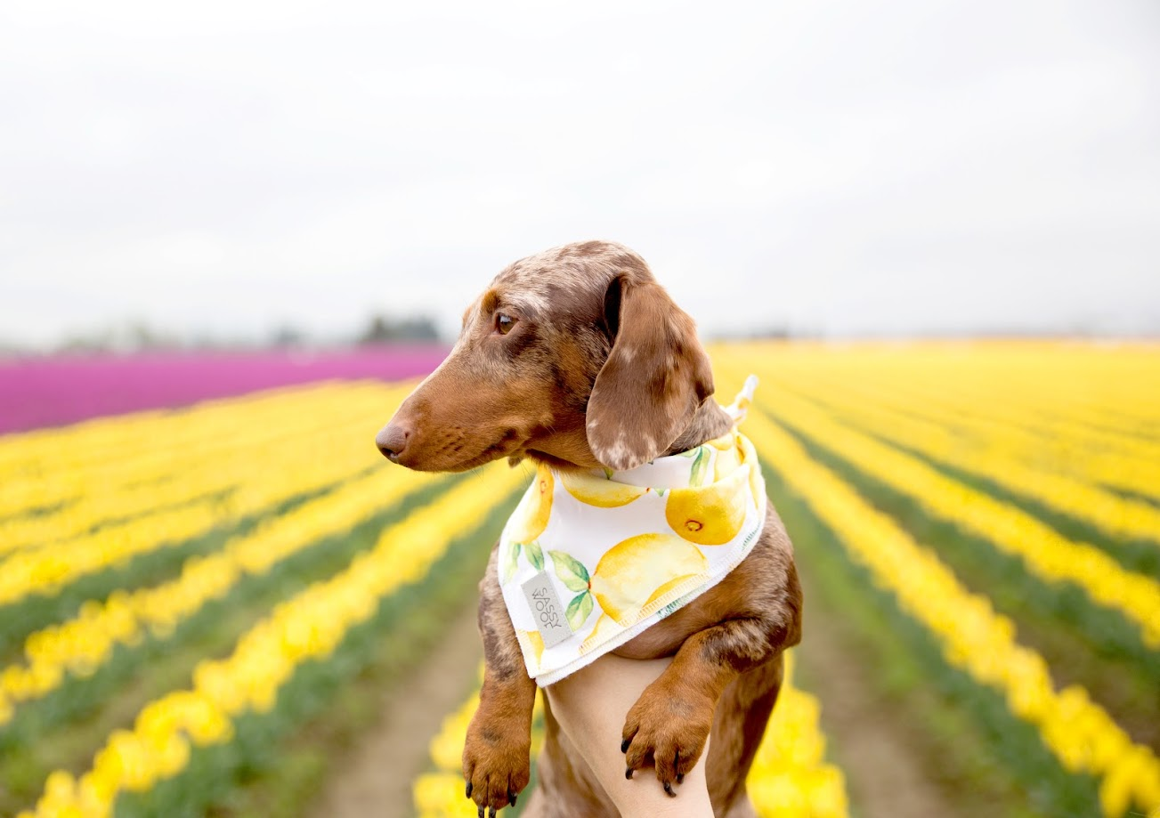 A dachshund posing in front of a crop of tulips