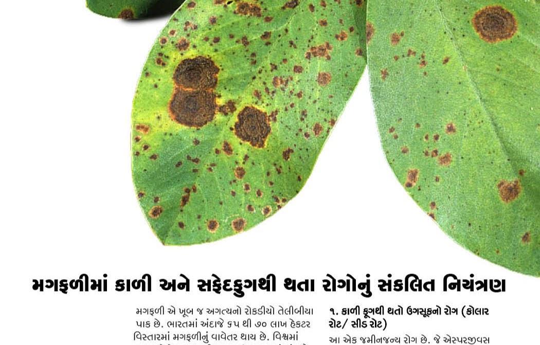 મગફળી : મગફળીમાં કાળી-સફેદ ફૂગથી થતા રોગો અને તેનું નિયંત્રણ