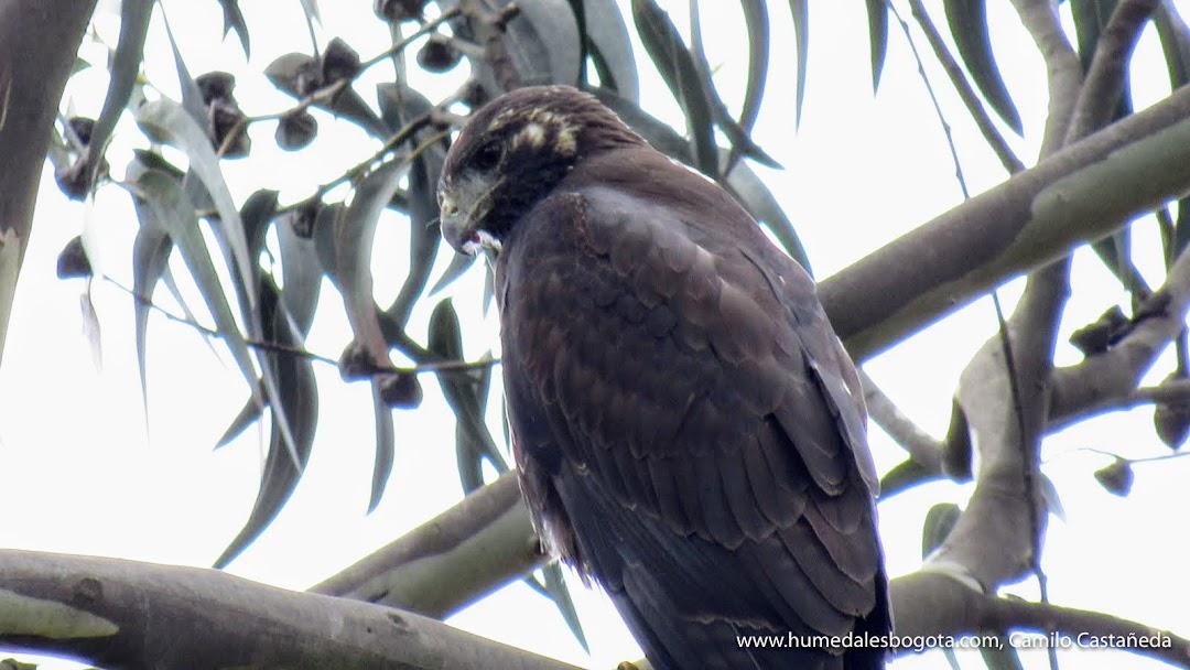 Aguila Geranoaetus en el humedal Meandro del Say