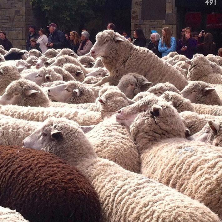Trailing of the Sheep, o festival das Ovelhas