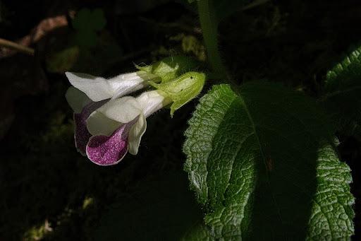 Melittis melissophyllum