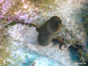 Photo: Goldentail Moray Eel