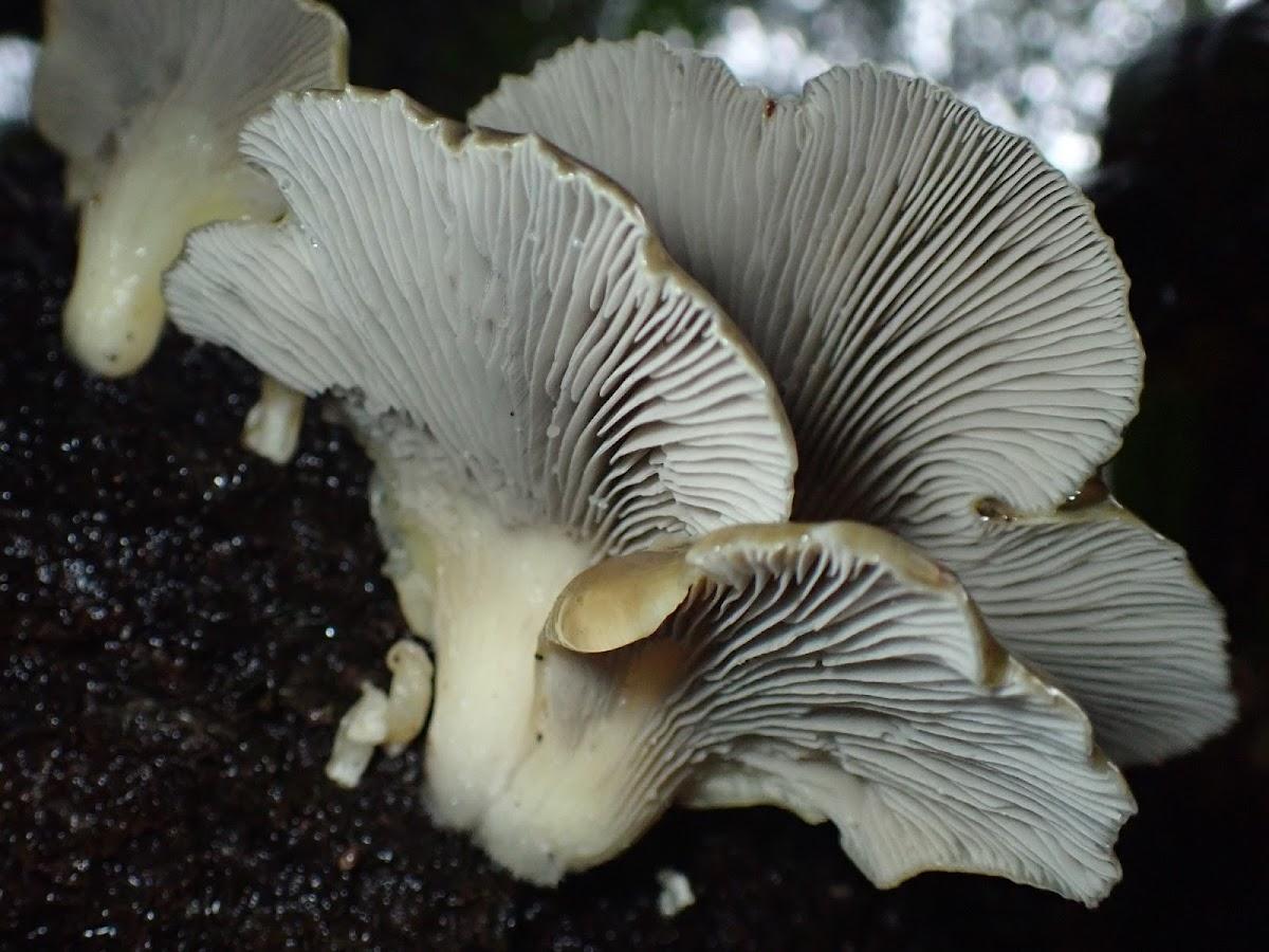 Purple-Olive oyster mushrooms