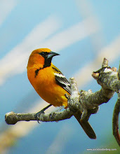 Photo: Streak-backed Oriole; Rancho Primavera, near Tuito, Jalisco