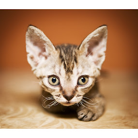 Devon Rex  by Oxana Chorna - Animals - Cats Kittens ( cat, kitten, devon rex, surprise, cutie )