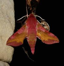 Photo: Deilephila porcellus    Lepidoptera > Sphingidae