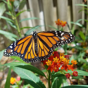 A Garden Visitor by Anne LiConti - Uncategorized All Uncategorized ( #gardenlandscape, #macrophotography, #garden, #mobilephotography, #naturelandscape, #nature, #monarch, #photography, #butterfly, .#monarchbutterfly,  )