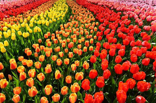 Il fiore di aprile: il tulipano di BASTET-Clara