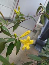 Photo: 「カロライナジャスミン」 常緑つる性花木
