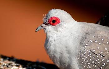 Photo: kleines Täubchen mit roten Augenringen