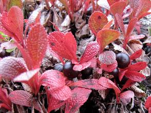 Photo: In vergelijking met aan het begin van de week waren de bessenblaadjes alweer een stuk roder geworden. Het gevolg van de nachtvorst.