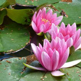 Trio by Helena Moravusova - Flowers Flower Gardens ( flowers, water lilies, nature )