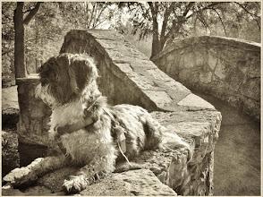 Photo: Black and white photo of a shih tzu puppy on a stone bridge at Eastwood Park in Dayton, Ohio.